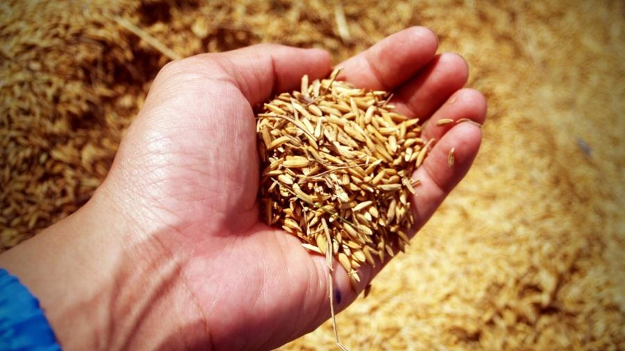 gefermenteerde rijst